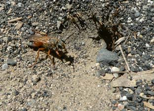 Golden Digger Wasp burrowing