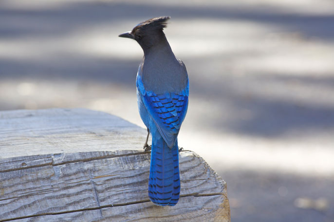Blue- and black-colored bird (Steller's jay)