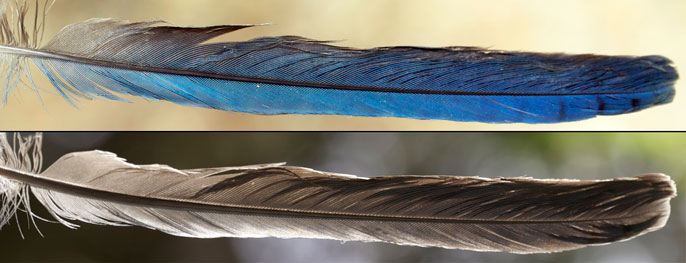 Steller's jay feather is blue when reflecting light, but gray when light is shone through it