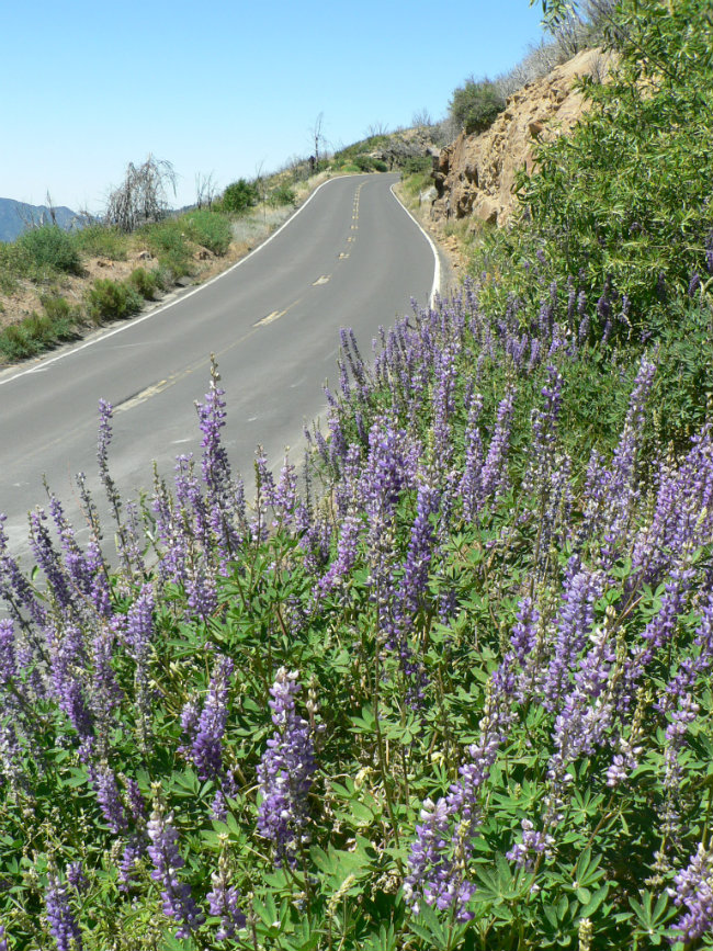 Lupine along Big Oak Flat Road