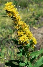 Meadow Goldenrod