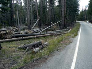 Downed trees caused by Mono Winds near Mono Pass Trailhead