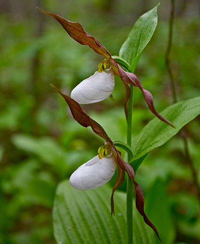 Lady slipper orchids yosemite national park us national park lady slipper mightylinksfo