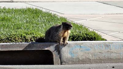 Yosemite marmot in San Jose