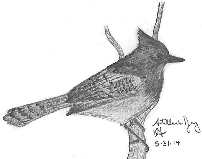 Sketch of a Steller's jay