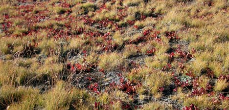 Dwarf Bilberry showing some fall colors of the high country near Mono Pass
