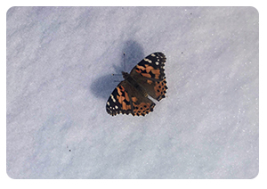 Painted lady butterfly on April 1, 2019.