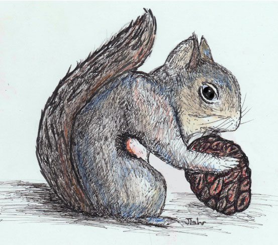 Douglas squirrel (chickaree) illustration