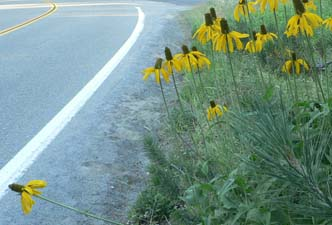 Coneflower from a distance