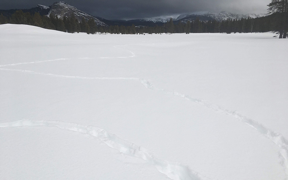 Coyote tracks meander through Tuolumne Meadows on January 22, 2020.