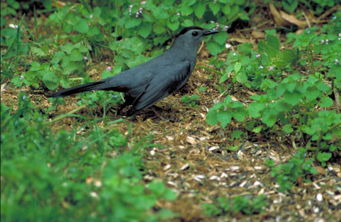 Gray catbird on the ground.