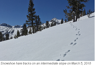 Snowshoe hare tracks in fresh snow