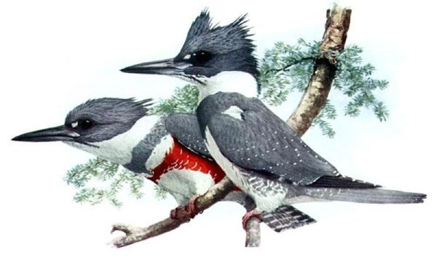 Illustration of belted kingfisher