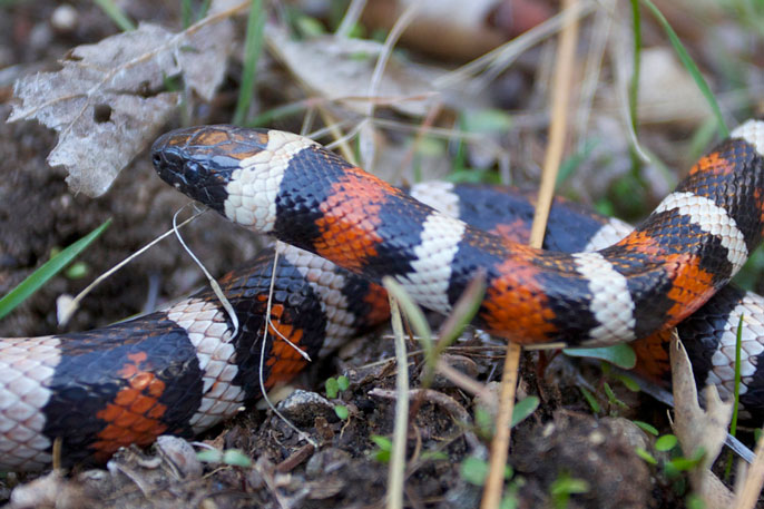 black-, white-, and red-striped snake