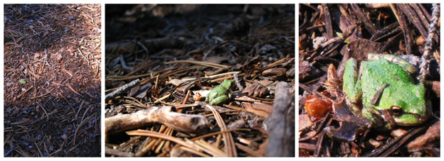 Three photos of a Pacific tree frog