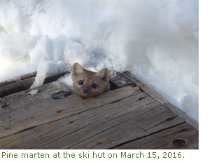 Pine marten peeking his head out at the ski hut