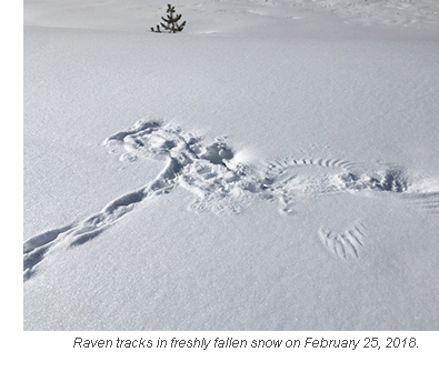 raven tracks in freshly fallen snow