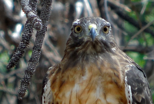 Red-tail hawk in Yosemite Valley