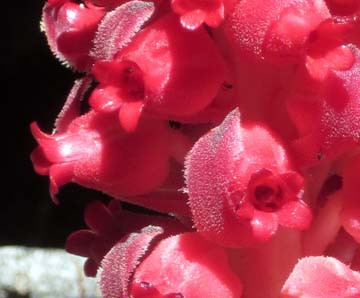 Close-up image of Snowplant
