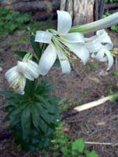 Image of Washington Lily