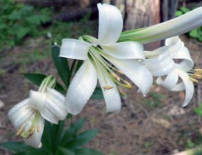 Close up image of Washington Lily