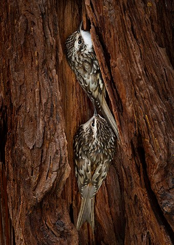 Two brown creepers perched vertically on red tree bark