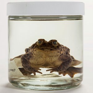 Pickled frog in a jar