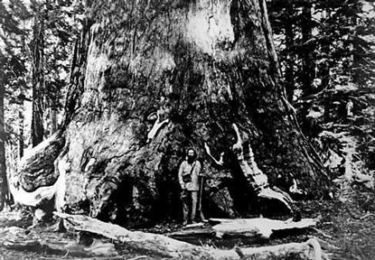 Galen Clark stands at base of sequoia tree in historic photo