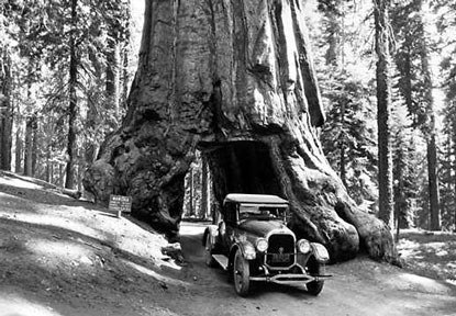 Visitors drive through the Wawona Tree in 1926.