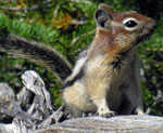 striped squirrel sits up on rock