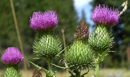 Invasive Plant Update Yosemite National Park U S