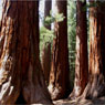 A stand of giant sequoias