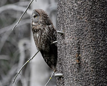 Side profile of a great gray owl on a tree