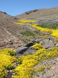 Yellow flowers in a rocky outcrop