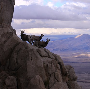 Three bighorn sheep on a steep cliff