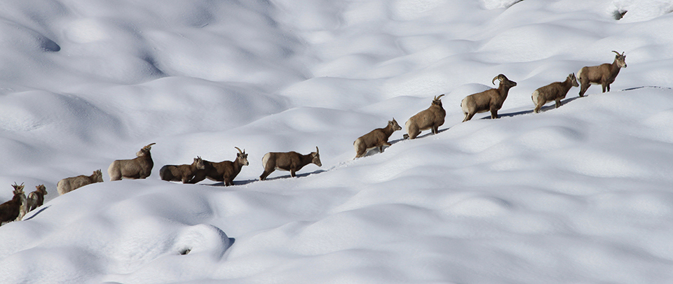 History Of Sierra Nevada Bighorn Sheep Recovery Yosemite National Park U S National Park Service