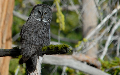 Owl sits on a moss-covered tree branch