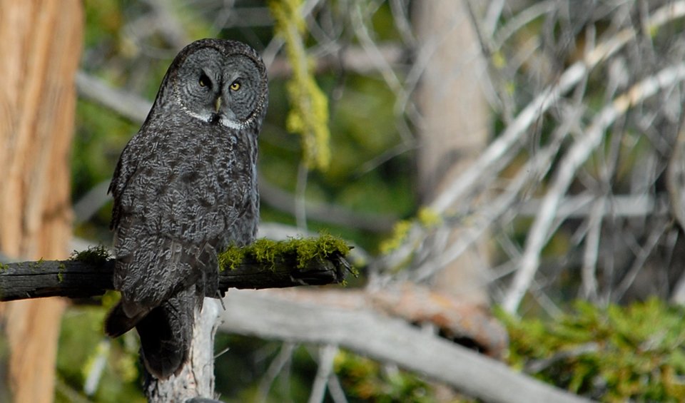 Great gray owl sitting on a mossy branch