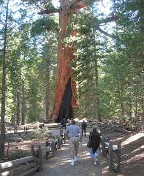 Visitors walk on path to a sequoia tree