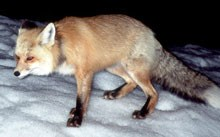 A Sierra Nevada red fox steps across the snow
