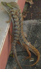 Two striped lizards mating