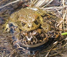 Two toads stacked on top of each other