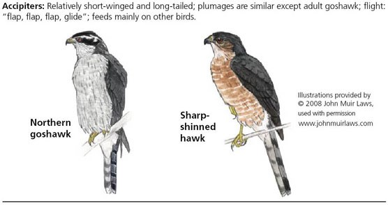 Northern goshawk on left and sharp-shinned hawk on right