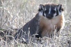Badger sits in a grassy field