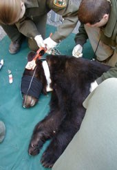 Two researchers lean over a sedated bear on the ground that is being tagged on its ear
