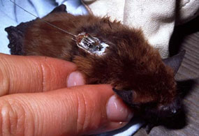 Bat with a small radio-tracking device on back