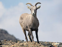 A single bighorn sheep stands erect