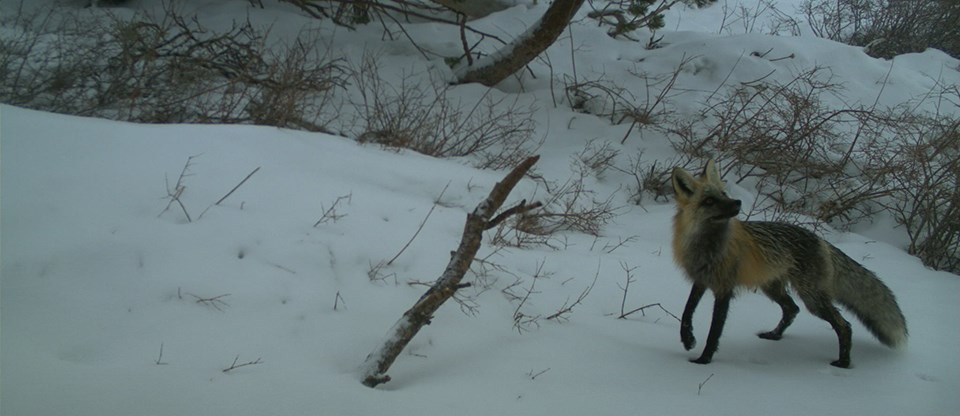 Sierra Nevada red foxes vary in color; this one in the Sonora Pass area is black and yellow-red.