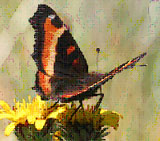 California Tortoiseshell butterfly with orange yellow and black