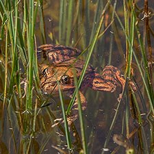 California red-legged frog in water